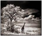Africa black and white   (9)
